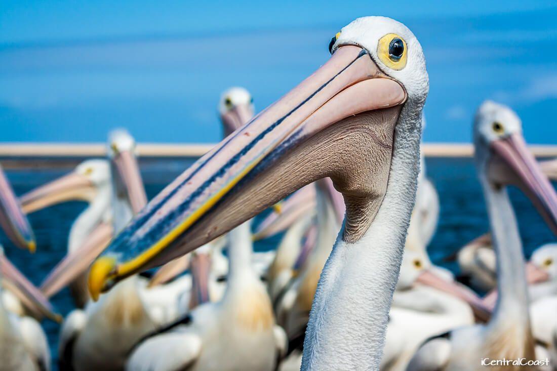 Up-close pelican