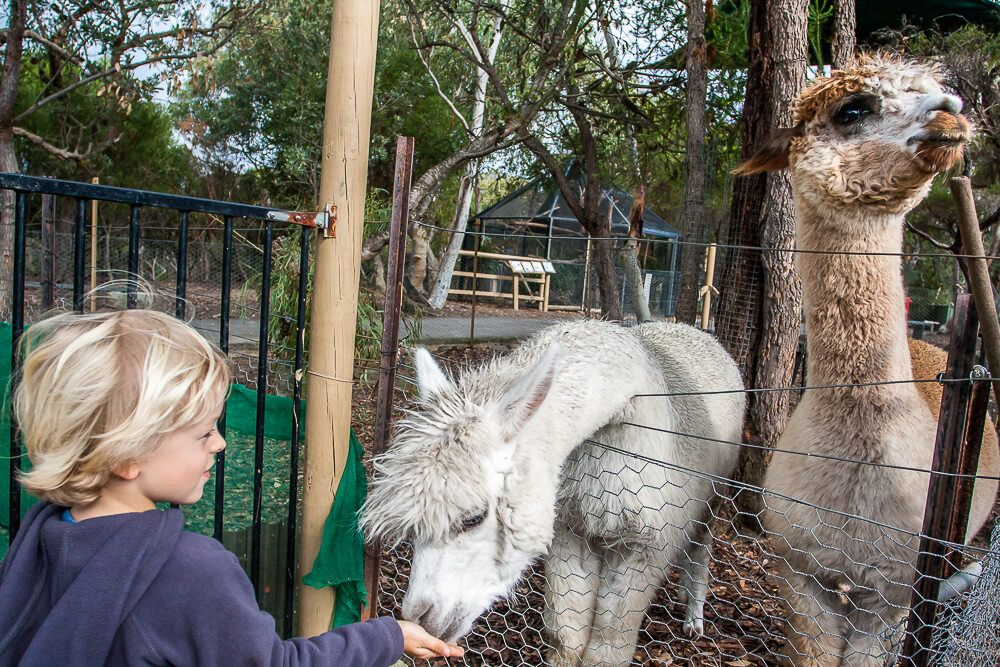Feeding the alpacas at Australia Walkabout Wildlife Park