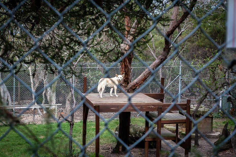 Dingo standing on a wooden platform behind a fence