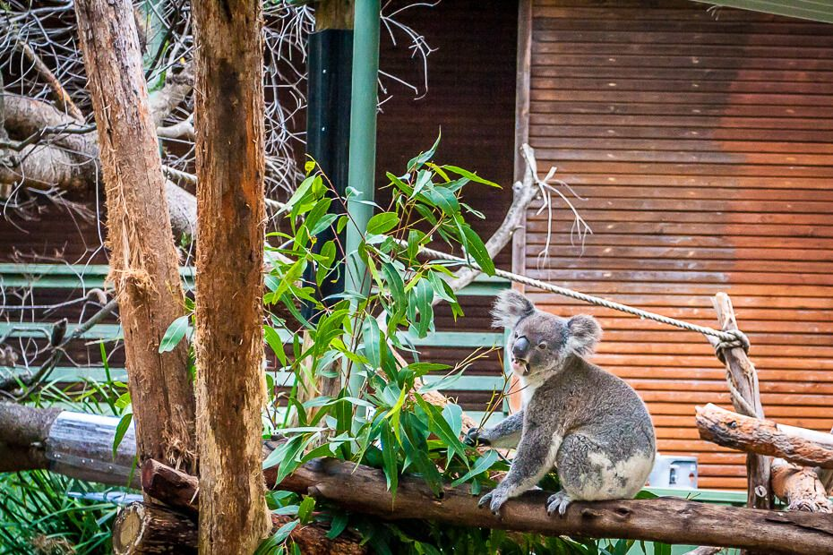 Koala on a branch eating gum leaves