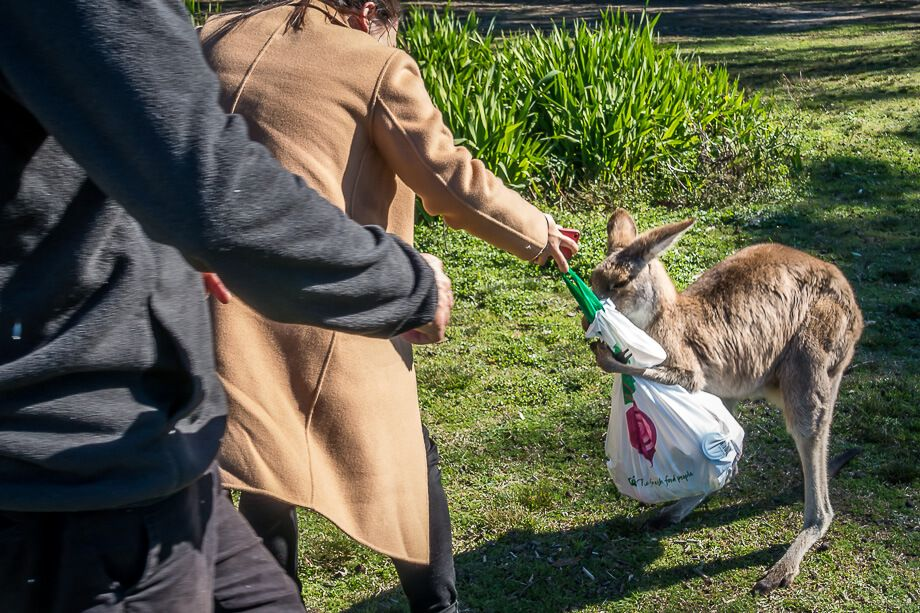 A kangaroo tries to snatch a bag from a woman's hands to get food.