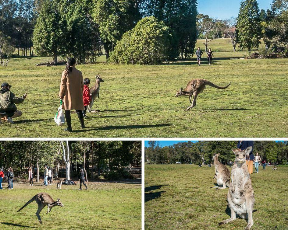 International visitors visiting the kangaroos at Morisset Park