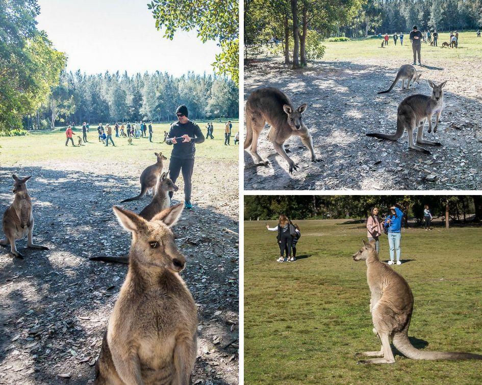 Taking photos of kangaroos