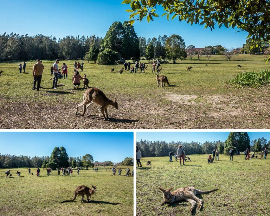 Visiting the kangaroos near Sydney