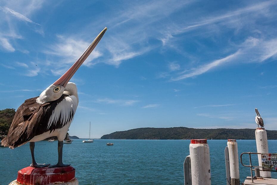 Pelican looking up