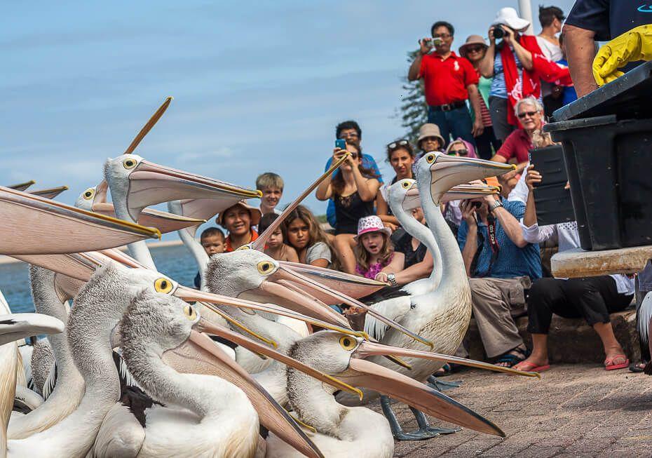 Pelican Feeding - The Entrance