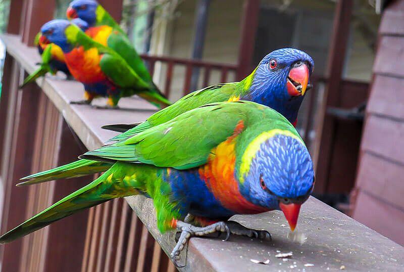 Rainbow Lorikeet Australia