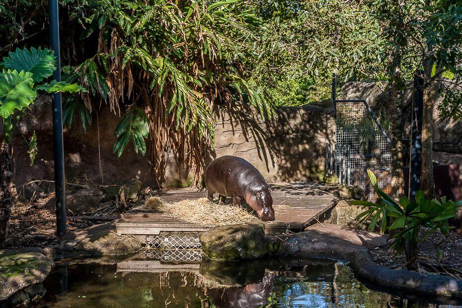 Pygmy Hippo Taronga Zoo