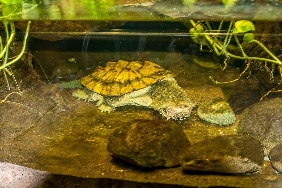 Mata-mata Taronga Zoo