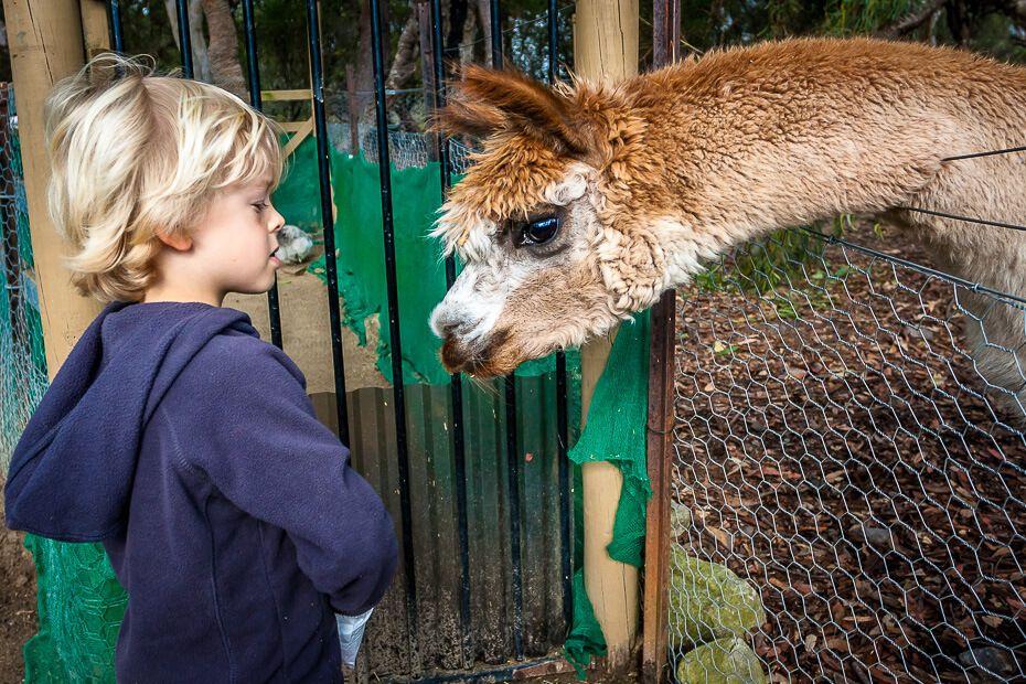 Boy feeding an alpaca
