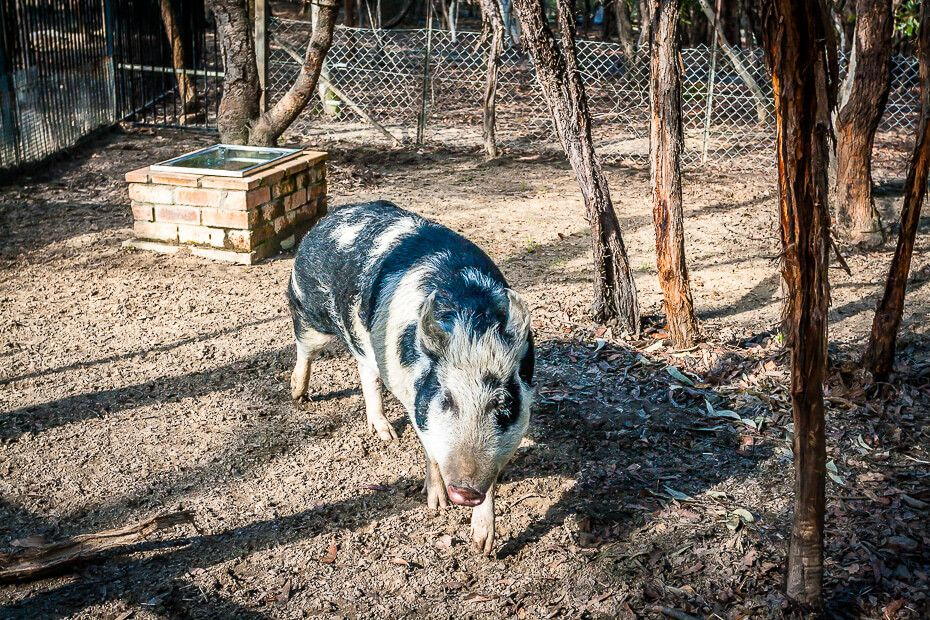 Waffles the Pig