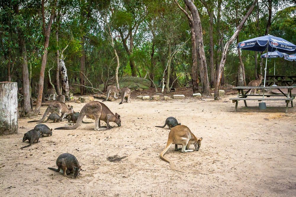 kangaroos, wallaroos, wallabies, pademelons at Australia Walkabout Wildlife Park