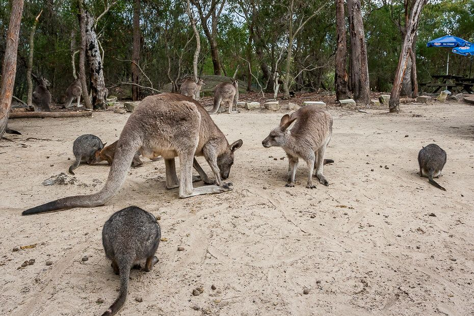 Kangaroos and Pademelons