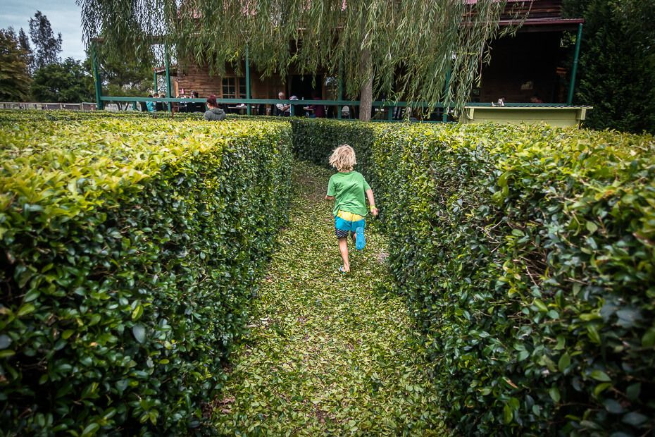 Finding his way in the hedge maze at Amazement Farm and Fun Park