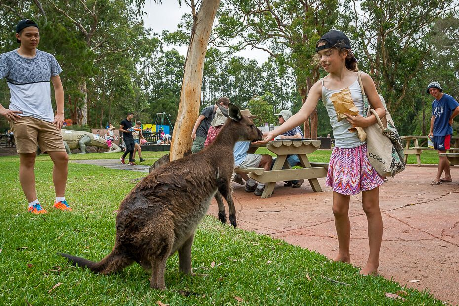 Australian Reptile Park - feeding kangaroos