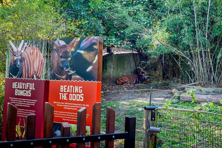 Bongo Taronga Zoo