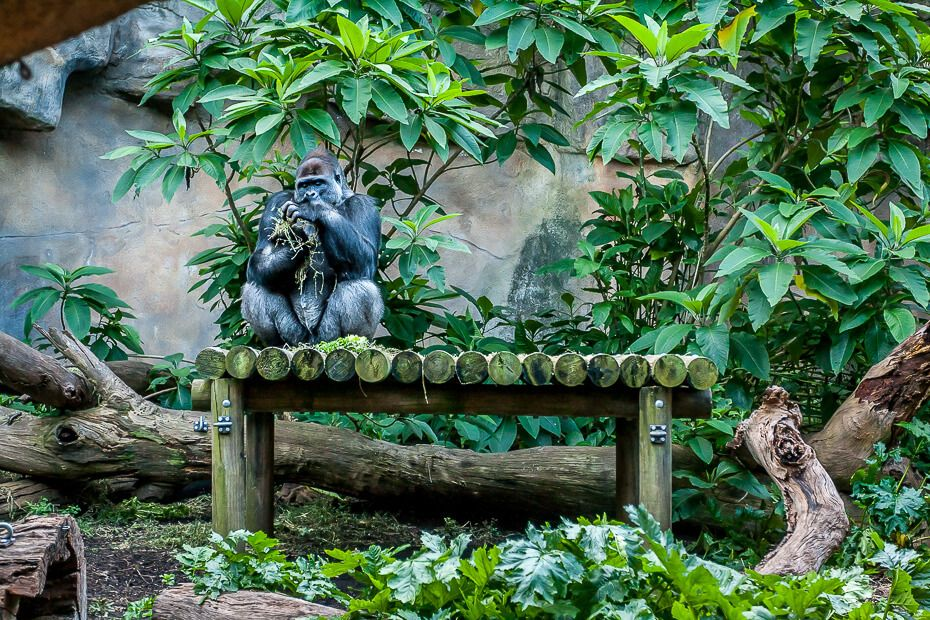 Western Lowland Gorilla Taronga Zoo
