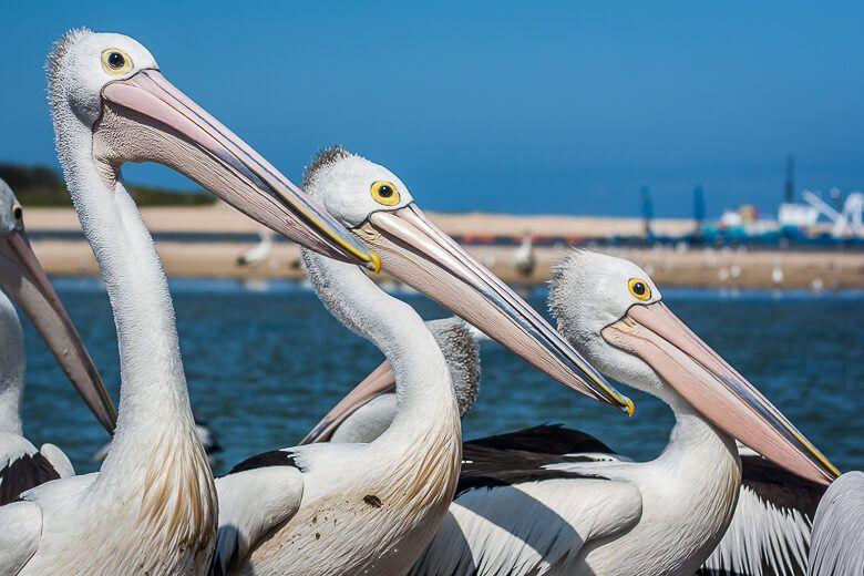 Three pelicans lining up before Pelican Feeding