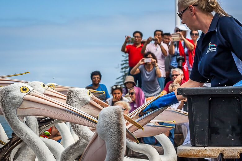 The pelican are being fed at Pelican Feeding.