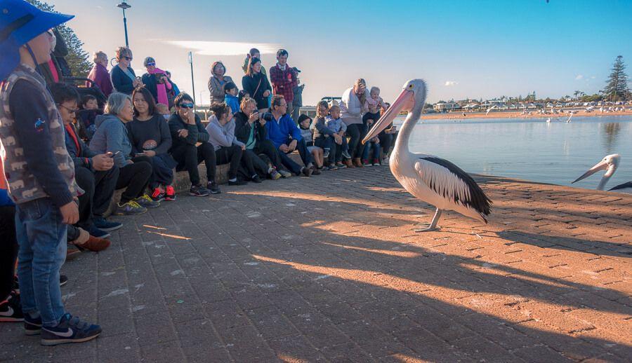 Pelican at Pelican Feeding