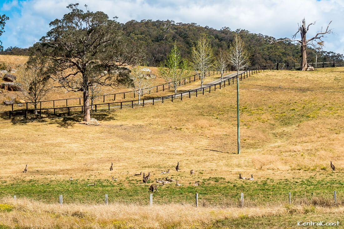 Wallabies at Yarramalong Valley